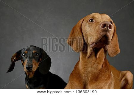 Dachshund And Hungarian Vizsla In A Studio