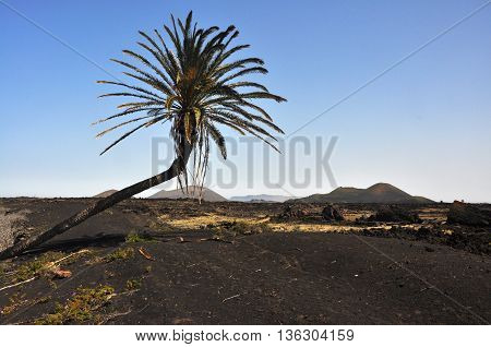 lonesome palm tree on spanish volcanic island lanzarote