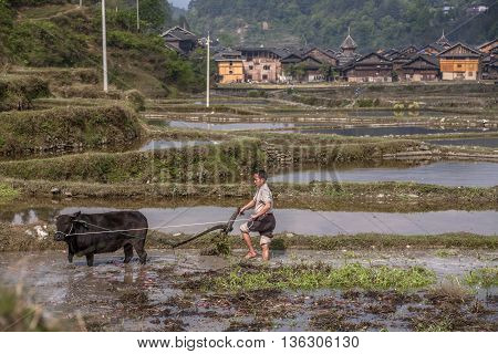 Zhaoxing Dong Village Guizhou Province China - April 8 2010: Cultivated land in a rural mountain china peasant plowing the flooded paddy field by using force the black bull.