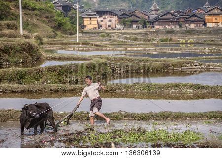 Zhaoxing Dong Village Guizhou Province China - April 8 2010: Chinese tiller handles land in flooded rice paddy with water by using force the black buffalo that pulls the plow.