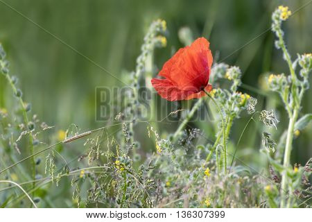 Single wild poppy in tall grass with caterpillar