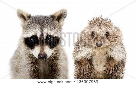 Portrait of a raccoon and hedgehog, closeup, isolated on white background