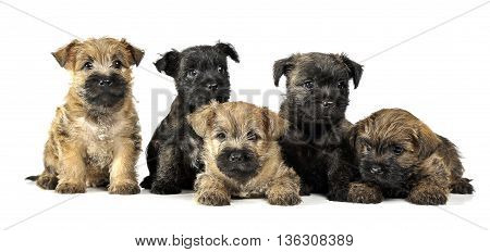 Group Of Puppy Cairn Terrier's Are On White