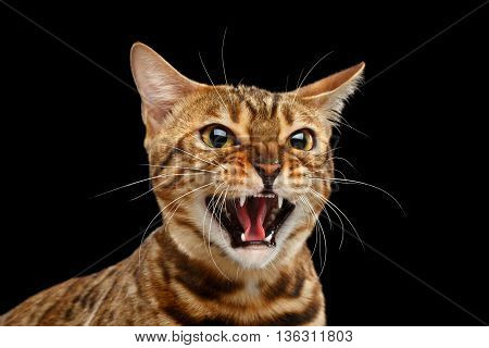 Closeup Portrait of Aggressive Bengal Cat Face on Isolated Black Background, Front view, Fear Kitty, Hisses Open mouth