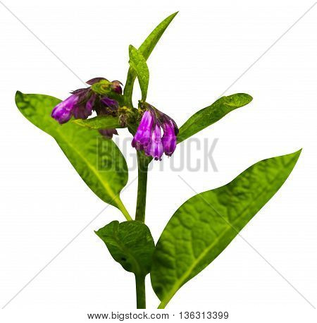 Comfrey. Comfrey (Symphytum officinale) flowers of a used in organic medicine. comfrey blossoming
