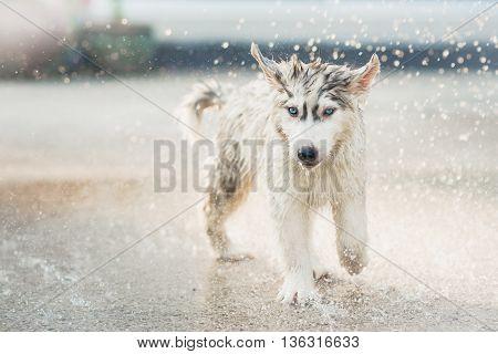Cute siberian husky puppy running in the rain