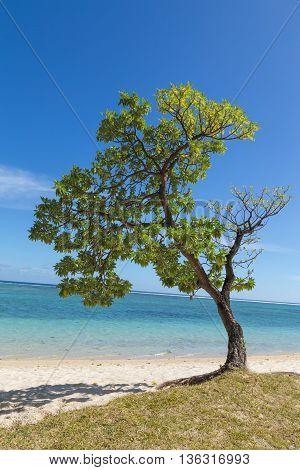 Tree On The Beach In Flic En Flac Mauritius Overlooking The Sea