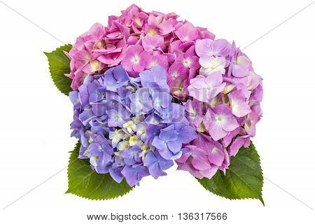Colourful bouquet of hydrangea flowerheads, Hydrangea macrophylla, isolated on white background