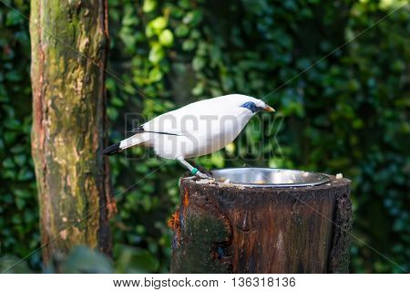 The Bali myna (Leucopsar rothschildi), also known as Rothschild's mynah, Bali starling, locally known as Jalak Bali, in natural surroundings