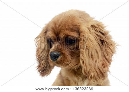 Cute Puppy Cavalier King Charles Spaniel Portrait In White Studio