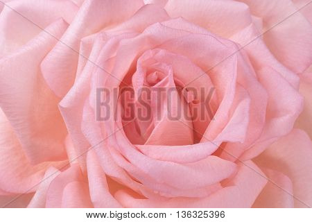 Pink garden rose flower petal background texture closeup macro for abstract health and beauty posters