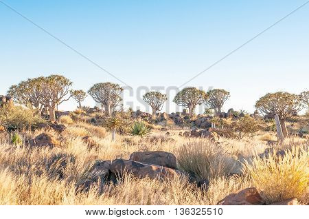 Sunrise at the Quiver Tree Forest near Keetmanshoop a medium sized town in Southern Namibia