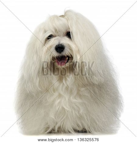 lovely shi-tzu smile in a white photo studio