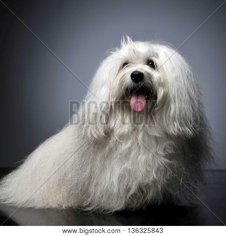 Lovely Shi-tzu Relaxing  In Gray Photo Studio