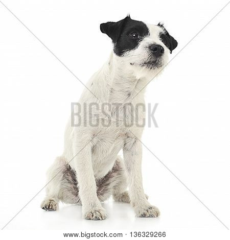 Parson Russell Terrier Sitting In The White Photo Studio