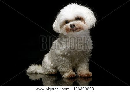 Shi-tzu sitting in the dark photo studio