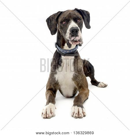 Deutsche Dogge in the isolated white background poster