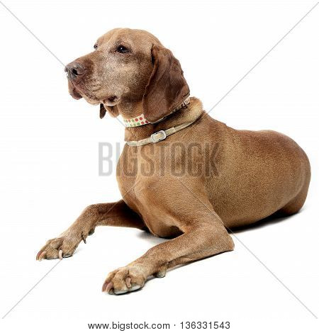 Old Hungarian Vizsla In A White Photo Studio
