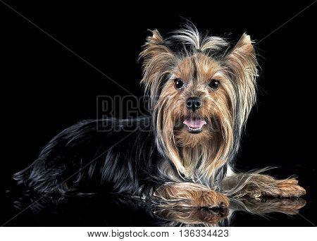 yorkshire terrier relaxing in the black photo studio