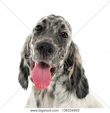 Lovely Puppy English Setter In A White Photo Background