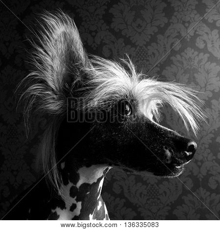 sweet Chinese crested dog head portrait indoor