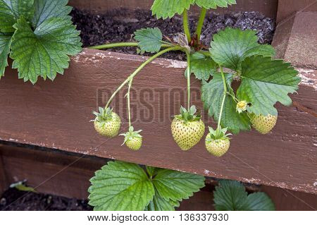 Strawberry plant growing in herb box / garden with unripe green fruit.