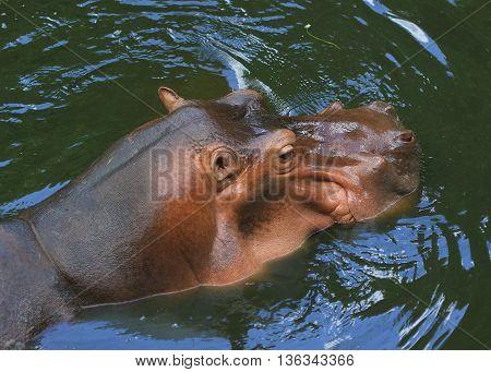 swimming female common hippopotamus,  Songkhla Zoo, Thailand