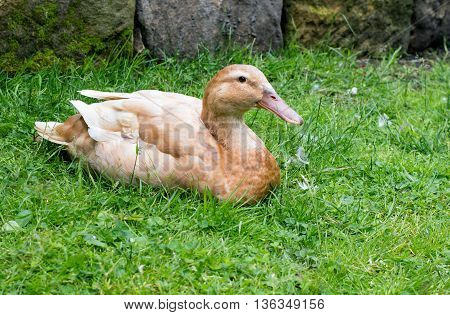 Buff Orpington duck resting contentedly on grass.