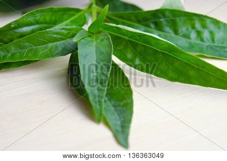 Green Chirayta king of bitters (Other names are Andropraphis paniculata Kariyat Kat Chirayta Kariyat Acanthaceae Fa Thalai Chon Kariyat Green chirayta creat king of bitters andrographis India echinacea) leaf isolated