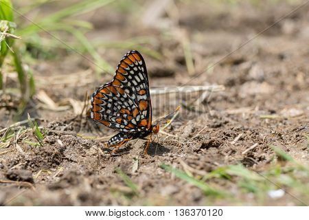Baltimore Checkerspot Butterfly getting nutrients from minerals in some mud.