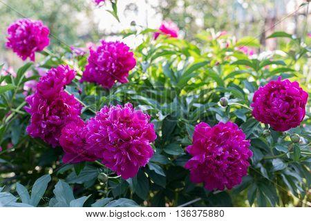 Many Blooming peony, burgundy. Season pions sun