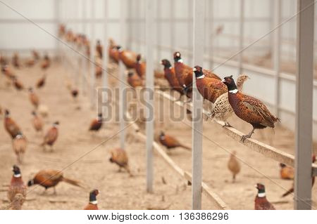 Pheasants on a poultry farm. Pheasants sitting on a crossbeam.
