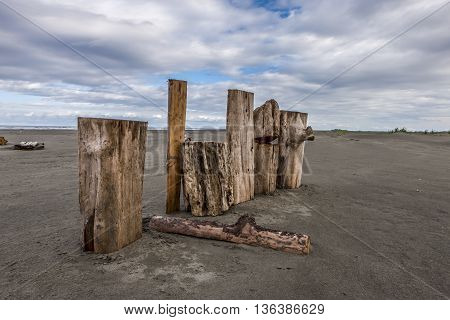Logs stood up on beach in Pacific Beach Washington.