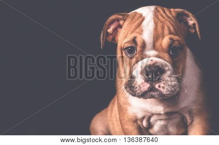 Portrait Of English Bulldog Puppy