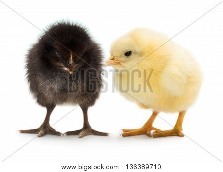 Photo of two cute baby chicks black and yellow isolated on white background