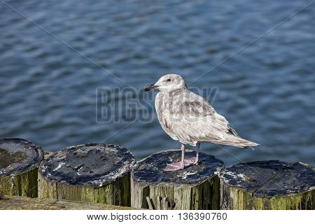 Juvenile seagull perched on post in Westport Washington.