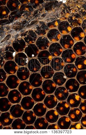 Damaged old brood comb culled due to damage with tunneling feces and webbing from wax moth.