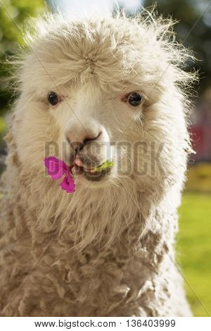 Close up of lama laying on the lawn with a flower in Arequipa Peru