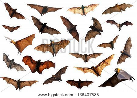 Spooky Halloween flying fox bats over white background