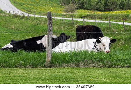 Holstein breed cattle lying in the pasture. They are known as the world's highest-production dairy animals.