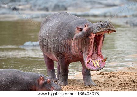 common hippopotamus in the water ( Hippopotamus amphibius )
