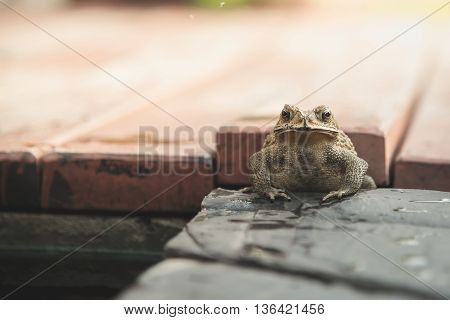 Close up of Common Toad in the garden vintage filter