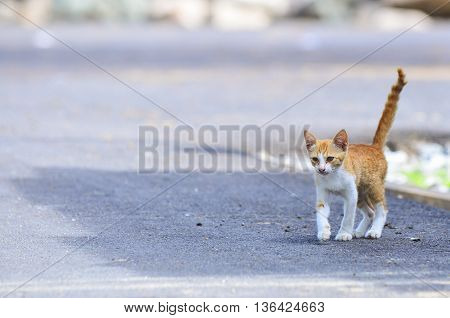 white and orange cute cat at outdoor