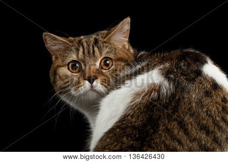 Close-up Frightened Scottish Straight Cat Turned back Head on Isolated Black Background, Back view, Curious Looks, Tabby with white Cat