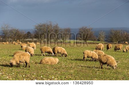 Sheep in a field in winter in the Cotswolds, England, UK