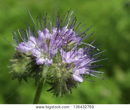 The pretty purple flowers of Phacelia tanacetifolia also known as tansy, or lacy phacelia.