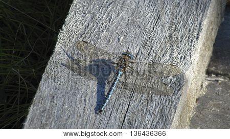 Dragon fly enjoy one's freedom in summer.