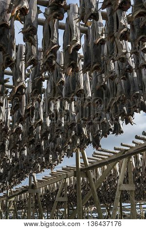 Stockfish hanging in the winter in Reine Lofoten Islands Norway.