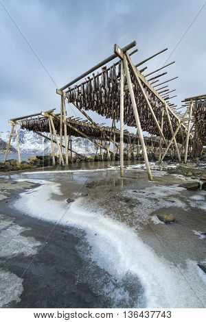 Stockfish (cod) hang on drying rack in Norwegian fishery Lofoten Islands
