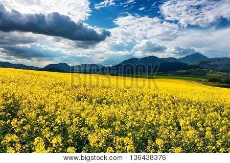 Rapeseed field and mountains - Chocske vrchy - Slovakia